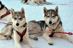 Nordeuropa, Lappland, Schweden-Expeditionen: Husky-Expeditionen - Schlittenhunde