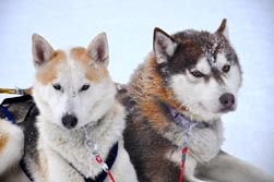 Nordeuropa, Lappland, Schweden-Expeditionen: Husky-Expeditionen - ruhende Huskys